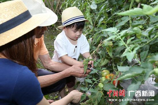 图为开心农场采摘有机蔬菜。裴蕾 摄