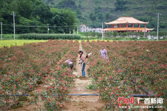 图为位于百色市田阳县央律村的苗木产业扶贫基地。俞靖 摄