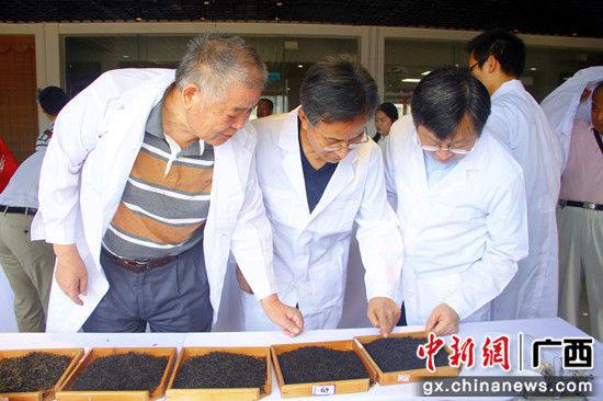 资料图:专家品鉴柳州地方茶。