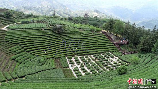 5月20日,人们在三江侗族自治县仙人山景区采摘茶叶。龚普康 摄