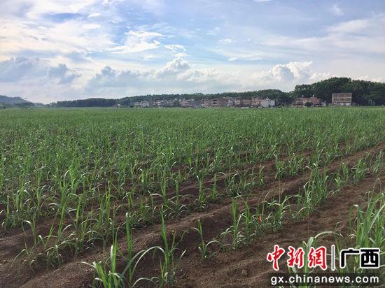 """在石塘镇""""双高""""基地茂盛生长着的甘蔗."""