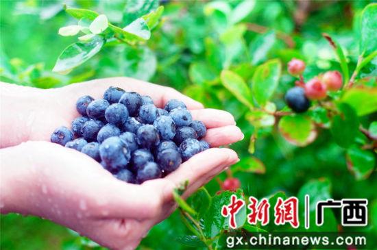 蓝莓丰收。王以照 摄