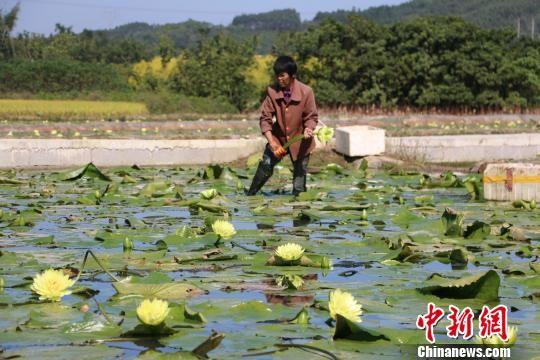 图为农民在采摘九品香莲。 林馨 摄