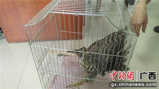 姜某捕获的松雀鹰