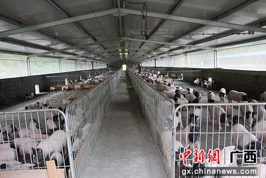 巴马原种香猪农牧实业有限公司苗屯养殖基地