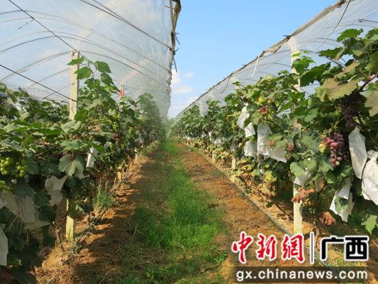示范区葡萄种植。