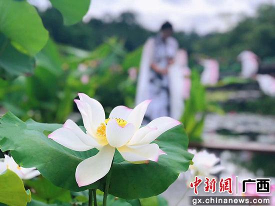 3万株水生花卉扮靓广西南宁青秀山