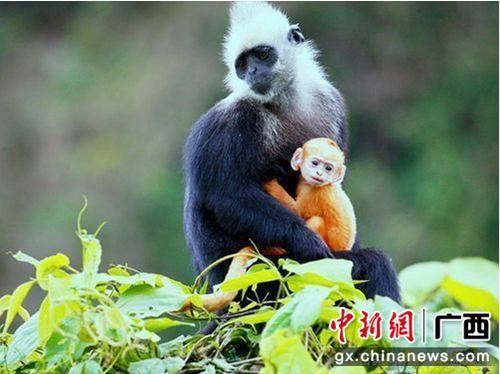 与国宝大熊猫一样珍贵的白头叶猴。 陈兵 摄
