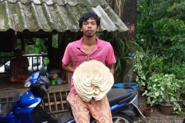 泰国现白色巨型毒蘑菇似玫瑰花 村民视作吉祥物