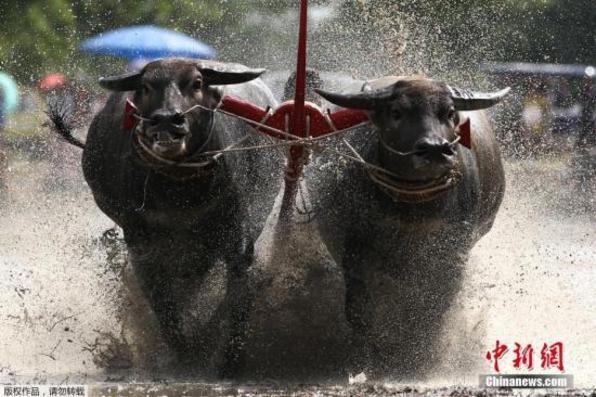 """泰国奔牛赛来袭:泥地里的""""速度与激情"""""""
