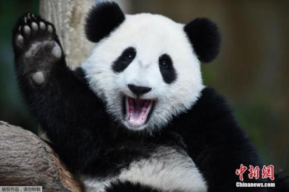 """在马出生大熊猫""""暖暖""""返回中国"""