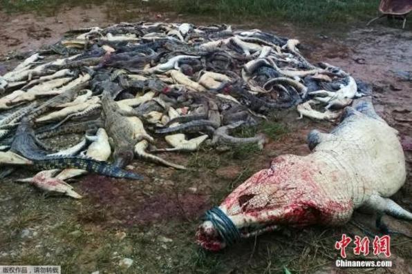 """印尼村民意外遭鳄鱼咬死 全村杀近300头鳄鱼""""复仇"""""""