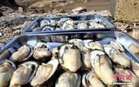 广西北部湾大蚝养殖喜获丰收