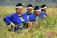 广西侗族妇女赛剪禾庆丰收