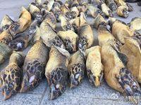 南宁海关查获特大走私珍稀动物案 缴获玳瑁上百只