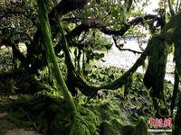 广西北海冯家江入海口现大量绿藻