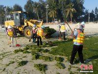 广西北海银滩景区受海藻侵袭 3天清理81吨