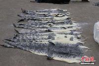 广西海警查获1609张涉嫌走私鳄鱼皮
