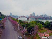 广西柳州20万株紫荆花盛放 变身花园城市
