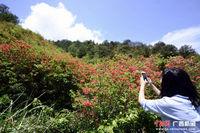 广西龙胜:杜鹃花开遍地红