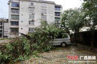 广西融安树倒砸车