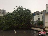 暴雨大风袭广西柳州 200余树木倒塌压毁汽车