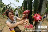 广西山区农民种植火龙果助脱贫