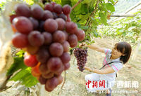 广西山区群众发展双季葡萄助脱贫