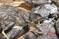 广西边防查获夜鹭132只 眼睛被戳瞎嘴巴被封住