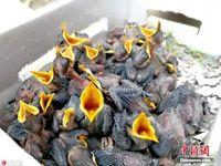 广西查获百只跨国野生活体八哥雏鸟