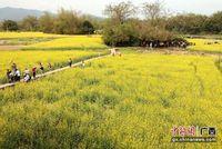 广西钦州数百亩油菜花开引客来