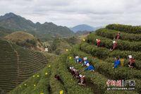 广西金秀:阳春三月 瑶乡采茶忙