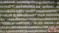 鸟瞰广西墓园祭扫高峰