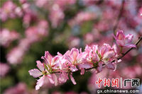 紫荆花香满融城