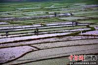 广西融水:雨后耕种忙