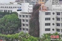 """广西现30米高""""鲜花瀑布"""" 飞流直下7层楼蔚为壮观"""