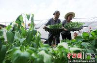88必发手机网页官网融安4万株优质嫁接蔬菜苗送贫困群众助脱贫