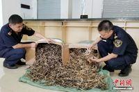 南宁海关查获国家二级保护动物海马制品约7750只