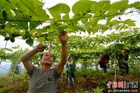 广西三江农民种植罗汉果 增收促脱贫