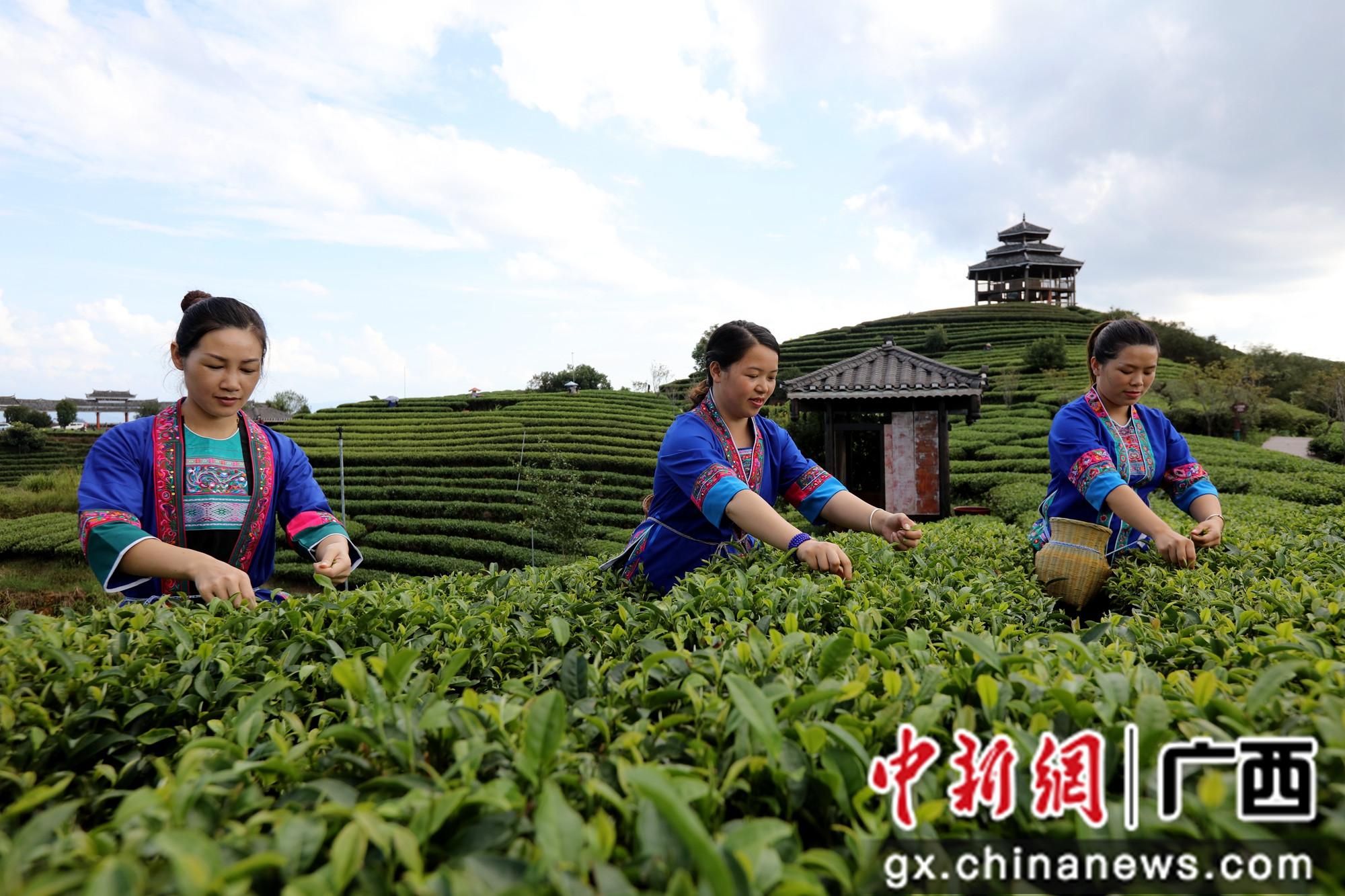 广西三江:金秋时节采茶忙