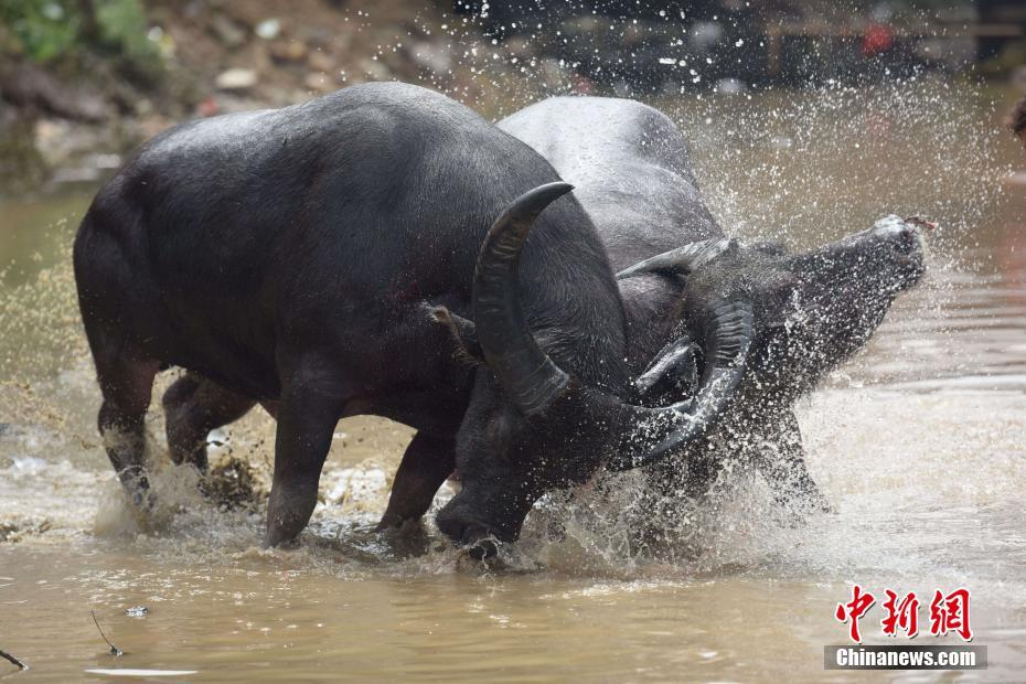 广西侗乡百年传统斗牛节吸引游客围观