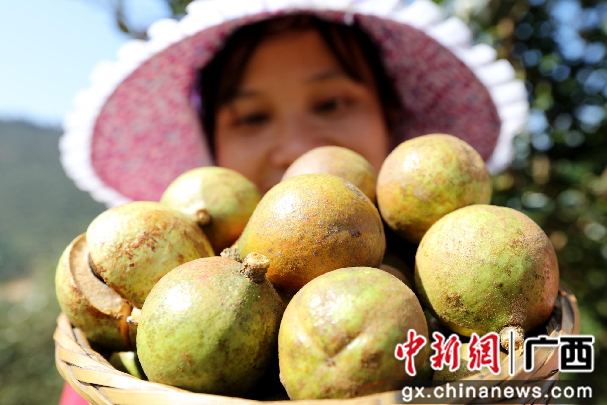 广西三江61.7万亩油茶喜获丰收