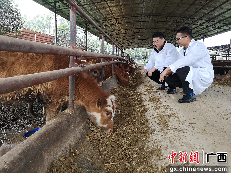 开户送体验金循环农业养牛助村民增收致富