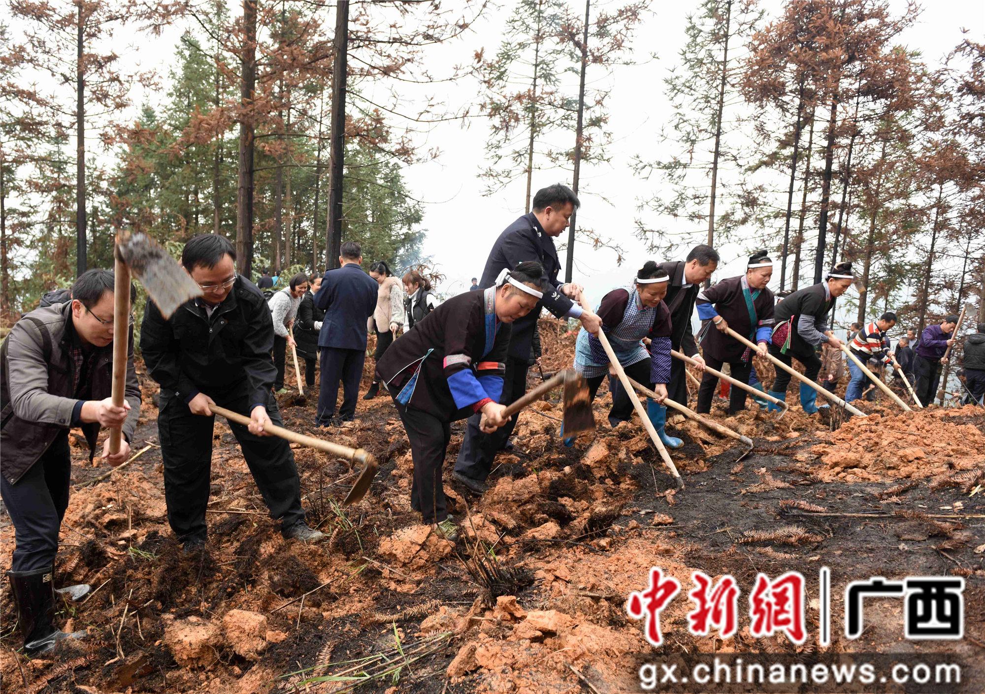 广西三江掀油茶备耕热潮