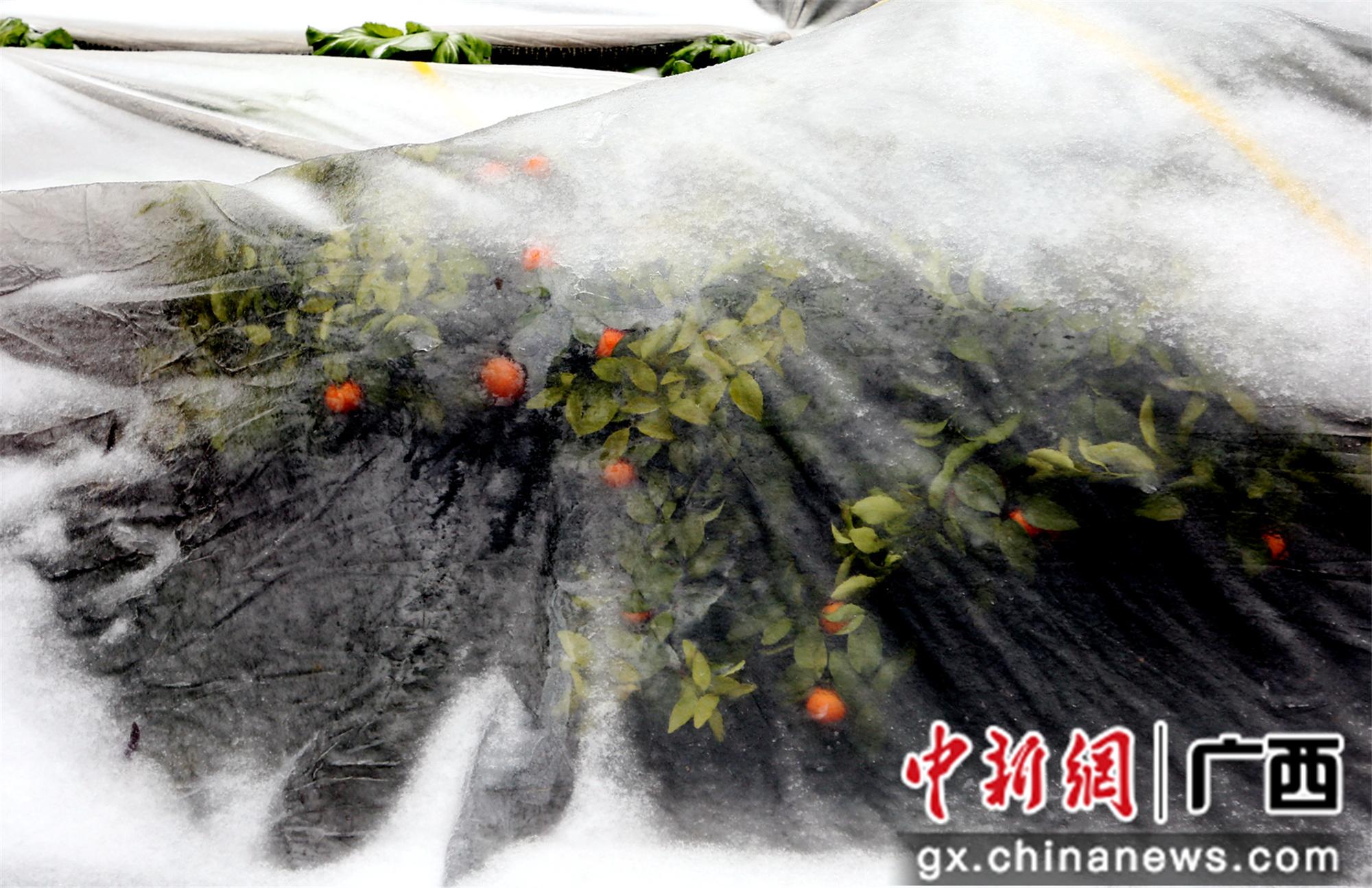 桂北山区农作物结满晶莹剔透冰棱