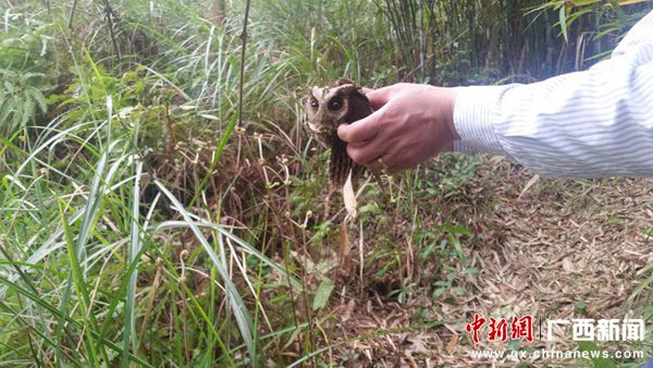 广西宾阳:警民合力救护野生猫头鹰